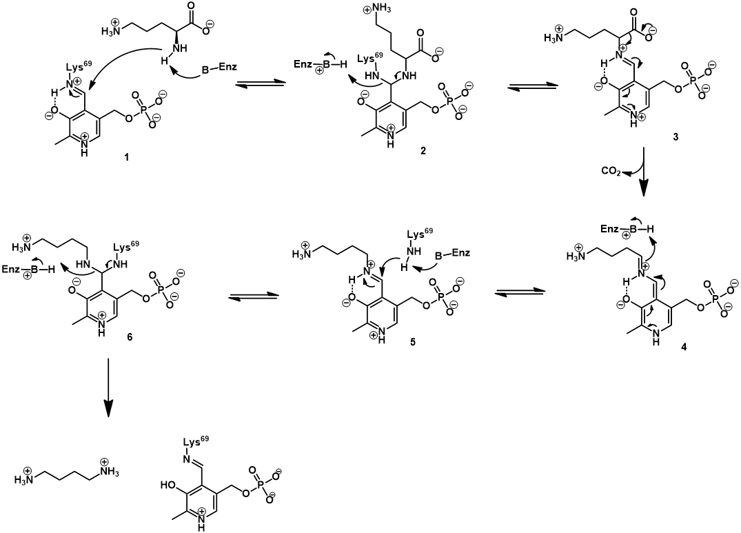 Enzyme mechanism ornithine decarboxylase