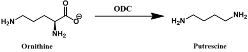 Ornithine decarboxylase (ODC) reaction